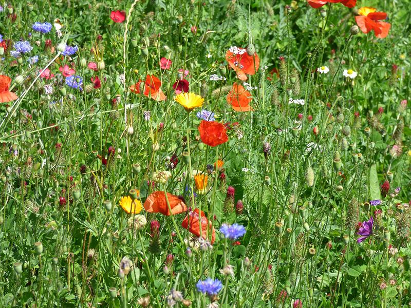 Sommerwiese mit bunten Blumen an der OvM